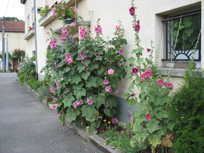 La rose tr mi re - Planter des roses tremieres ...