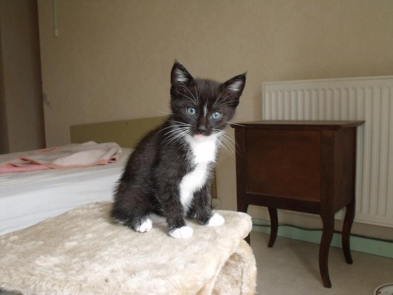 GULLI chaton noir et blanc yeux bleus 10 semaines en