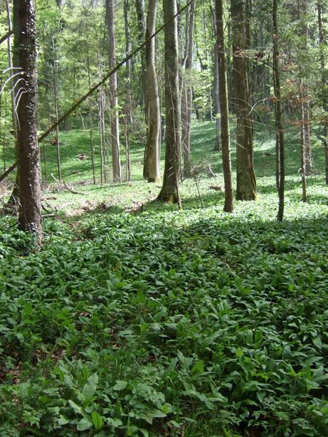 champ d'ail des ours en forêt
