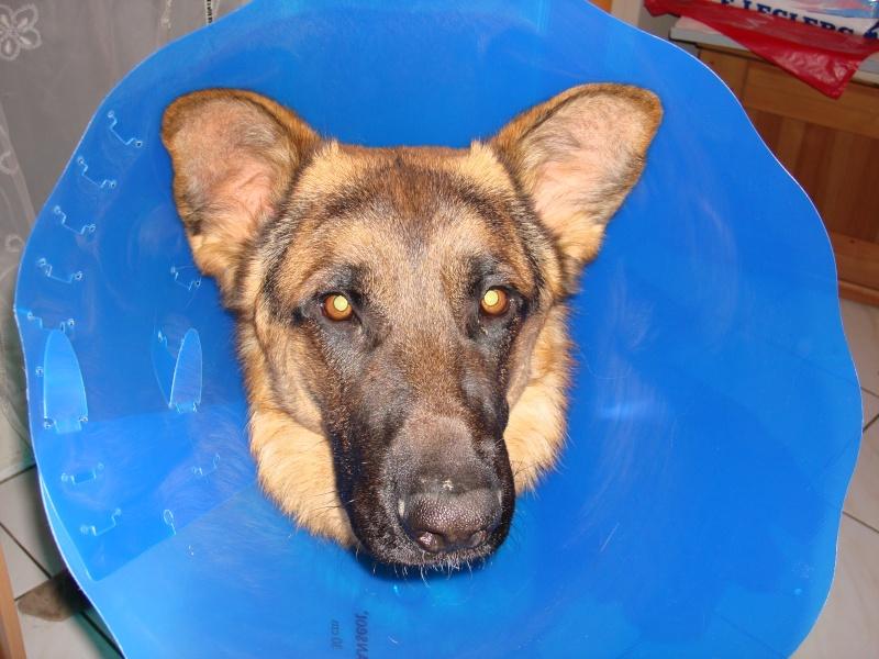 collerette pour chien castré