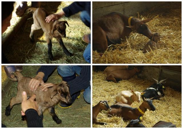 La garderie en déplacement à la chèvrerie ! dans Nos visites 06-10-10