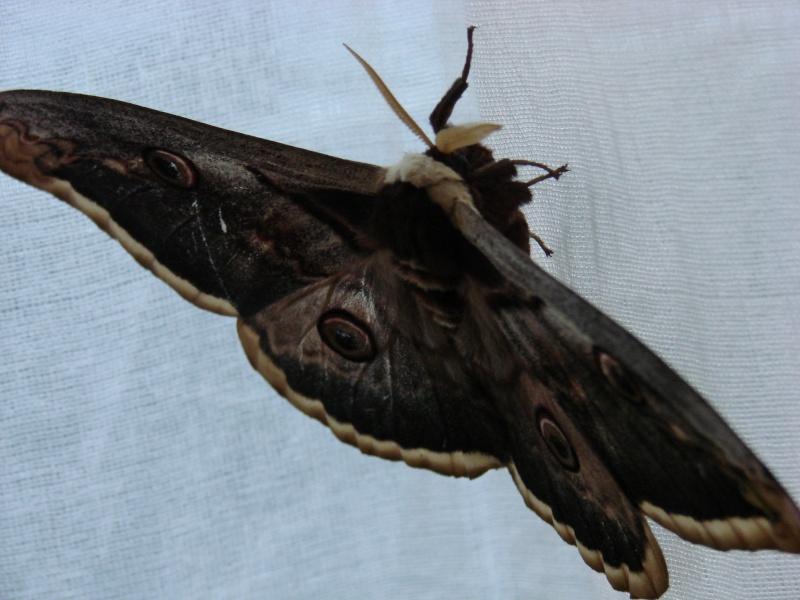 Papillon de nuit identifi grand paon de nuit notre - Gros papillon de nuit dangereux ...