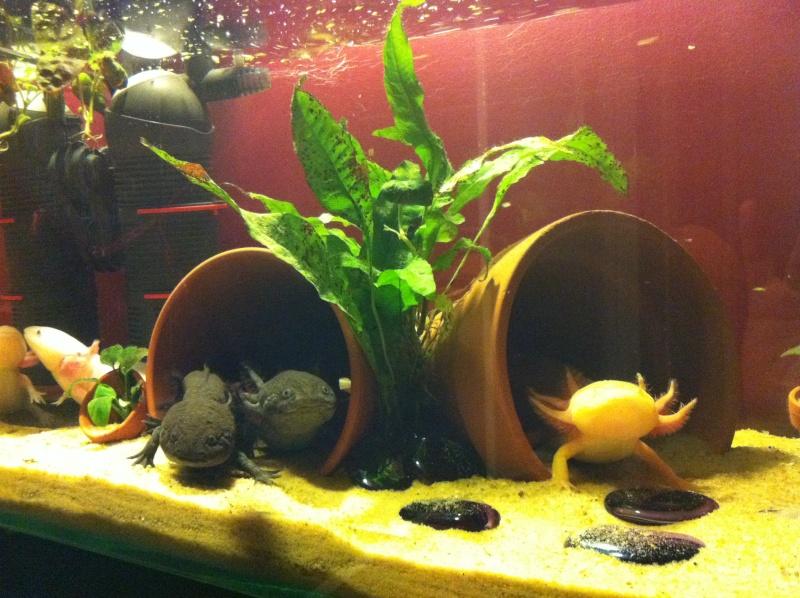 Decoration Aquarium Axolotl : Décoration aquarium axolotl
