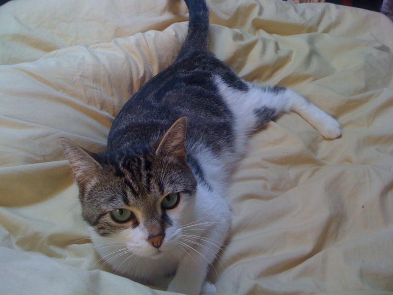 colibri chat tigr et blanc environ 1 an. Black Bedroom Furniture Sets. Home Design Ideas