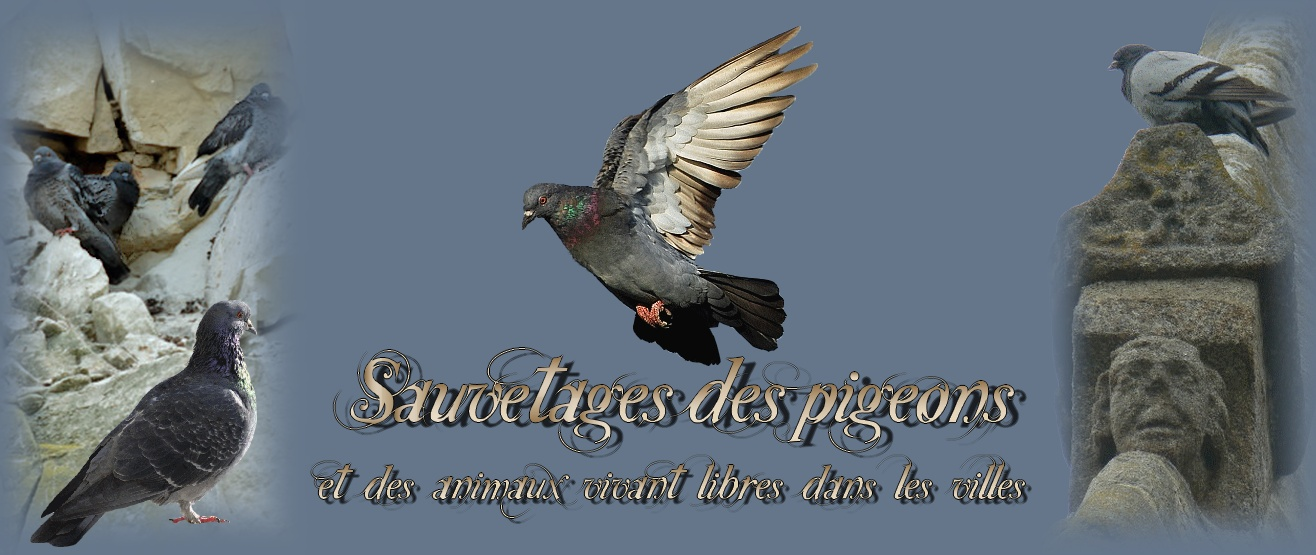 Sauvetages des pigeons, et des animaux vivant libres dans les villes