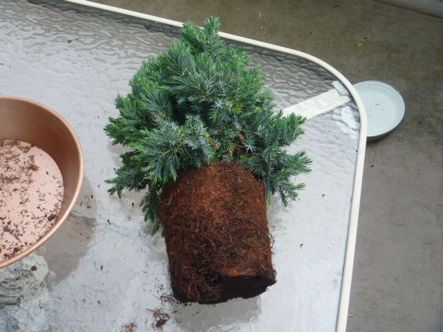 Juniperus Squamata Blue Carpet Bonsai Carpet Vidalondon